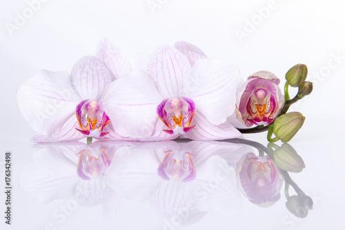 Plakat Storczykowi kwiaty z odbiciem na białym tle.