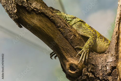 Amboina sail finned lizard lying on the branch - view of claws. Poster Mural XXL