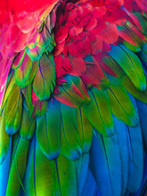Feathers Of Colorful Ara Parrot.