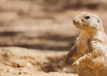 Portrait Of Prairie Dog.. Genus Cynomys. Place For Text.