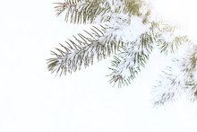Winter Background/ Spruce Branches In The Snow On A Light Background