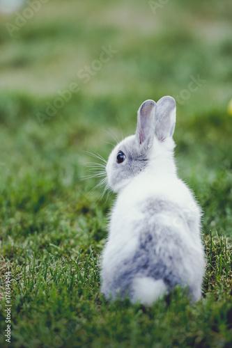 aa48c985c6e Bébé lapin gris et blanc - Buy this stock photo and explore similar ...