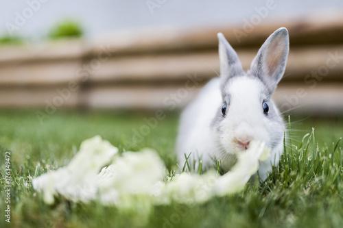 81d4db71d33 Bébé lapin gris et blanc mangeant de la salade - Buy this stock ...