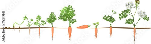 Fotografia A two-year life cycle of carrot development from planting a seed to flowering plant