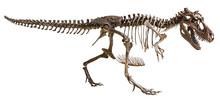 Tyrannosaurus Rex Skeleton On ...
