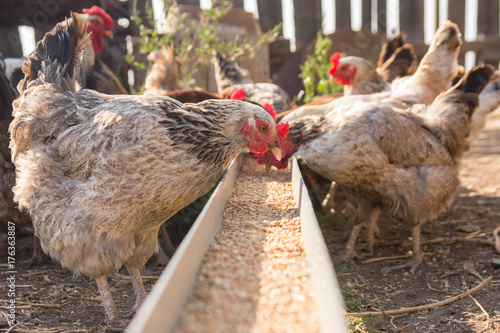 Fototapeta Domestic chickens in the aviary need food from the tray obraz