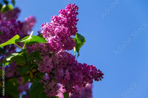 Fotobehang Lilac Purple lilac flowers on a bush