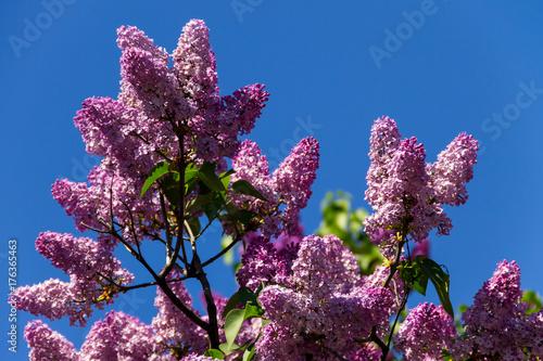 Foto op Canvas Lilac Purple lilac flowers on a bush
