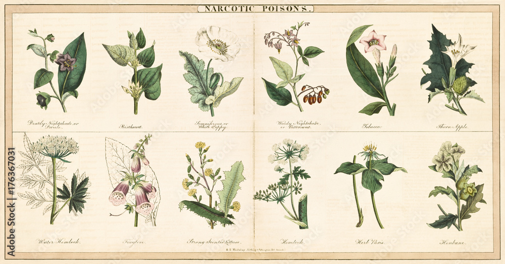 Fototapeta Vintage style illustration of a set of plants used to create narcotic poisons