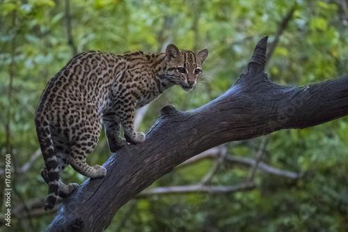 Fotografie, Obraz  Ozelot klettert auf einen Baum