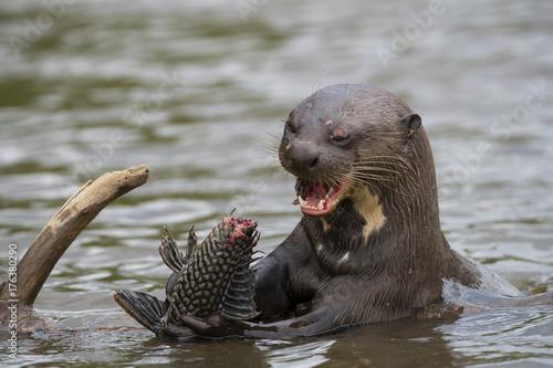 Fotografie, Tablou  Riesenotter frisst Fisch