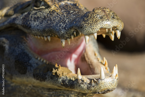 Recess Fitting Crocodile Kaiman oeffnet sein Maul