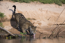 Jaguar Trinkt Am Fluss