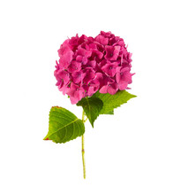Pink Hydrangea Isolated On White