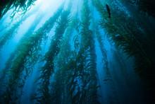 Kelp Forest In Channel Islands, California