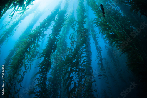 Kelp Forest in Channel Islands, California