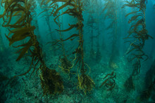 Kelp Forest In California, Cha...