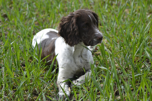 Springer Spaniel puppy in field - Buy this stock photo and