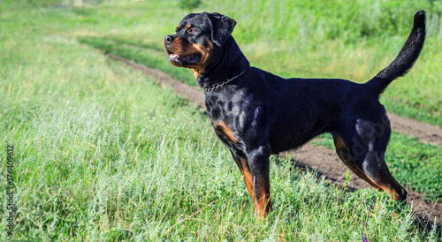 Photo portrait of a dog of breed a rottweiler on walking