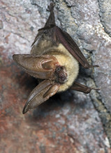 The Brown Long-eared Bat Commo...