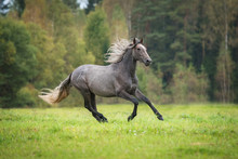 Young Andalusian Horse Running...
