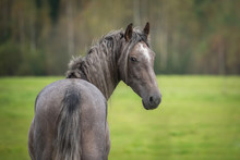 Portrait Of Young Grey Andalusian Horse Looking Back