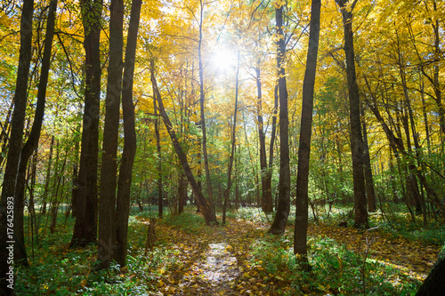 Fototapety, obrazy: Sun rays between tree branches in the autumn forest