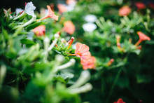 Mirabilis Red Flower With A Gr...