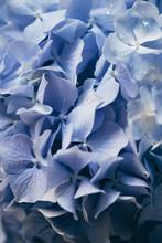Extreme Close Up Of Hydrangea Flower