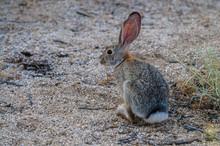 Desert Cottontail Rabbit
