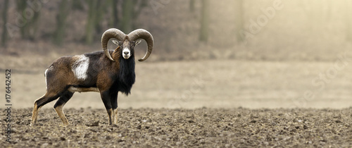 Poster Chasse Hunting concept banner - mouflon male looking on the field