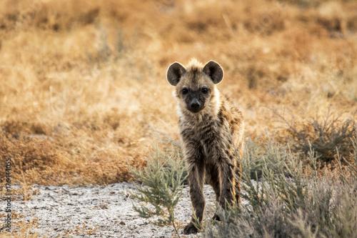 Foto op Canvas Hyena Iena