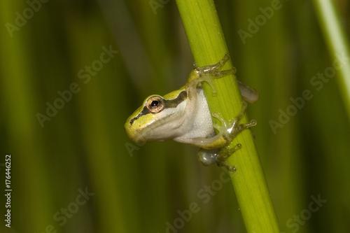 Fotografie, Obraz  juvenile de rainette méridionale Hyla meridionalis