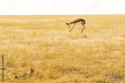 Antelope Springbok