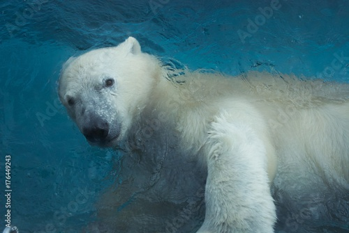 Photo sur Toile Ours Blanc Polar Bears Global Warming and Zoo