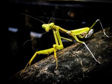 Praying Mantis Stalking Me