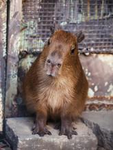 Cute Capibara Kid In The Zoo, ...