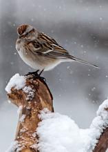 American Tree Sparrow In Snow