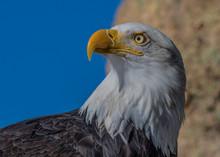 Bald Eagle Profile 4