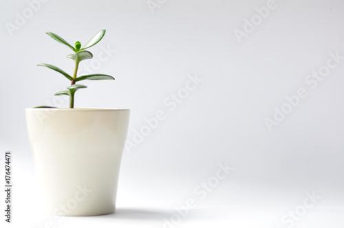 Obraz Drzewko szczęścia w białej doniczce na białym tle. - fototapety do salonu