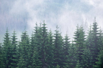 Fototapeta Misty fog in fir forest on mountain slopes.
