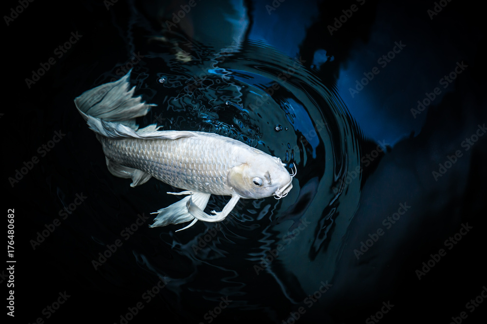 white crap fish or butterfly koi fish platinum color in pond
