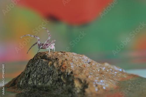 Plakat Zakończenie Różowy pająk na kamieniu, Makro- temat