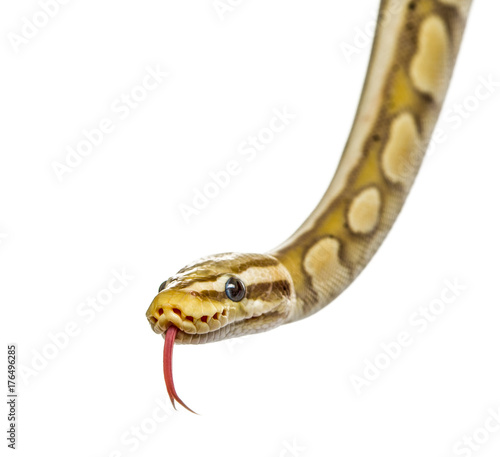 Close-up of a firefly python, isolated on white