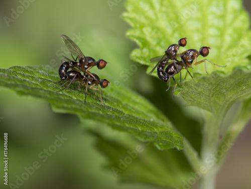 Small wild fly on the grass.Lauxaniidae.