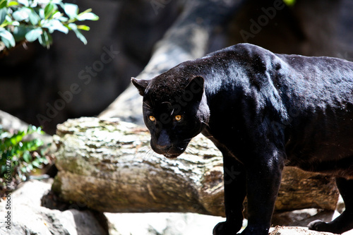 Foto op Canvas Panter black panter