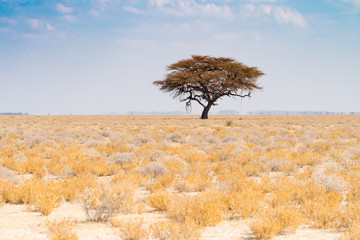 weite Savanne mit einem Akazienbaum im Etosha Nationalpark, Namibia