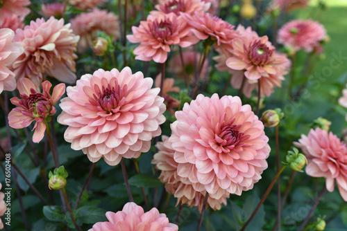 Dahlia rose en été au jardin