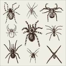 Spider Or Arachnid Species, Mo...