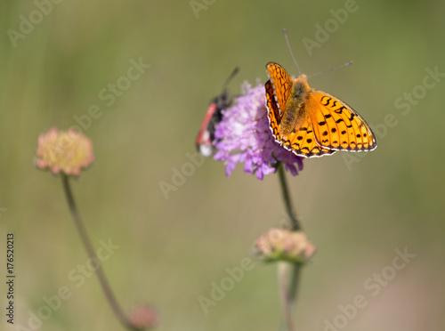 Valokuva  Macrophotographie de papillon - Melitee orangee (Melitaea didyma)